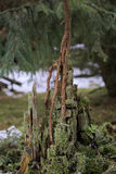 Young Spruce On Stump Royalty Free Stock Photos