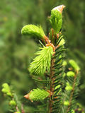 Young spruce tree  Stock Photography