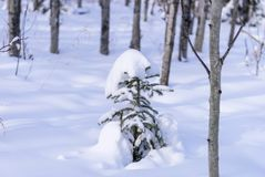 Young spruce tree in natural park Royalty Free Stock Photography