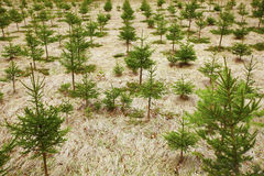 Young spruce tree cultivation on plantation Stock Image