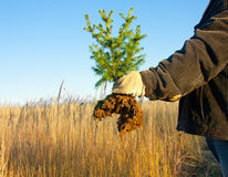 Young Spruce Tree in hand Royalty Free Stock Photography