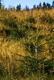 Young spruce trees. Planted in the mountains royalty free stock photos