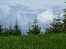 Young spruce trees , clouds and sky in the background. South Bohemia stock photos