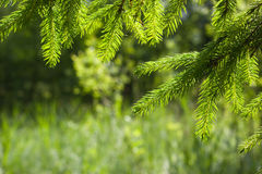 Young spruce twigs Royalty Free Stock Photos
