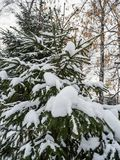 Young spruce under the recently fallen snow in Novosibirsk, Russia stock photos