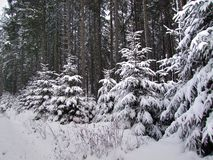 Young spruces in the forest covered with snow stock photos