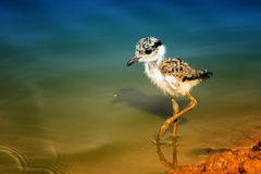 young Spur winged Lapwing Royalty Free Stock Images