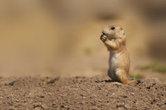 Free Young Squirrel Royalty Free Stock Photos - 25712748