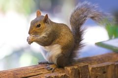 Young squirrel Stock Photo