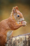 Young squirrel Royalty Free Stock Photography