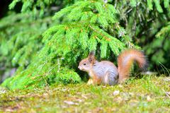 Young squirrel Royalty Free Stock Image