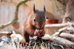 Young squirrel eating a hazelnut Stock Image