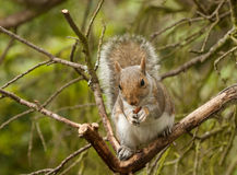 Young squirrel eating a nut Stock Photo