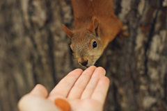 Young squirrel Stock Photography