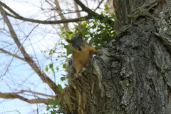Young squirrel in an elm tree. Little rodent squirrel on the side of an elm tree Royalty Free Stock Photo