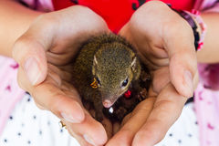 Young squirrel holding on hand. Stock Photo