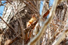 Young squirrel sitting on the branch and looking at camera on sunny spring day.  royalty free stock image