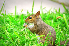 Young squirrel sitting in the grass eating Royalty Free Stock Images