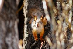 Young squirrel sitting on the trunk and looking at camera on sunny spring day.  stock photo