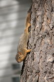 Young squirrel. In a tree in Iowa Royalty Free Stock Images