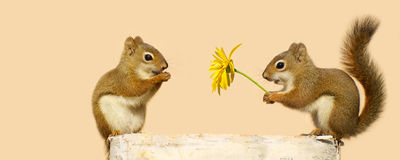Young squirrels in love. Cute image of a young male squirrel offering a flower to a happy looking pretty little female while perched on a log in the spring stock photography