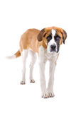 Young St. Bernard dog. Close up young St. Bernard dog, isolated on white background Royalty Free Stock Images