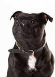 Young staffordshire bull terrieron Stock Photo