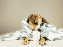 Cute funny dog posing in bed with plaid and cup. Young staffordshire terrier dog cuddles in throw blanket and holds white cup, pretending to drink tea or coffee Stock Image