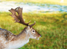 Young Stag Royalty Free Stock Photo