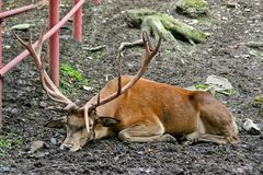 A young stag Royalty Free Stock Photos