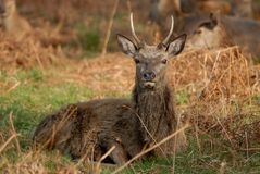 Young Stag Royalty Free Stock Image