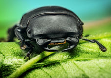 Young stag beetle. Lucanus cervus on green leaf Stock Photo