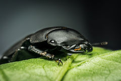 Young stag beetle. Lucanus cervus on green leaf Stock Images