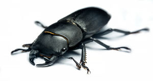 Young stag beetle. Lucanus cervus isolated on white background Royalty Free Stock Images