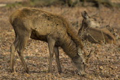 Young Stag. Grazing in Richmond Park, London, UK Royalty Free Stock Photography