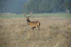 Young stag. Keeping a safe distance from the large Stags during the annual rut Stock Photos