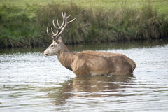 Young stag in lake. Young stag keeping safe in a lake during the Rut Royalty Free Stock Image