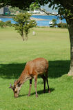 Young stag on Lochranza golf course, Arran. Young stag feeding on Lochranza golf course on the Isle of Arran, Scotland Royalty Free Stock Images