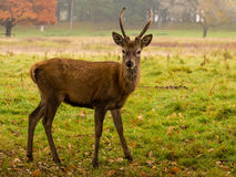 Young stag Royalty Free Stock Photos