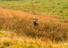 Young stag Royalty Free Stock Photography
