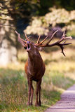 Young stag roaring Royalty Free Stock Photo