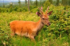 Young stag Stock Images
