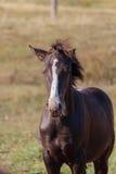 Young stallion. Royalty Free Stock Photos