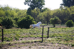 Young stallion galloping in the meadow alone Royalty Free Stock Photo