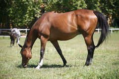 Young stallion grazing. Thoroughbred horse grazing in pasture summertime Stock Photos