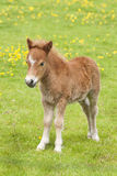 Young stallion horse foal Stock Image