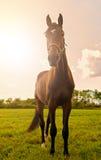 Young stallion posing Stock Photos