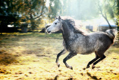 Young  stallion runs gallop on sunshine nature background Royalty Free Stock Image