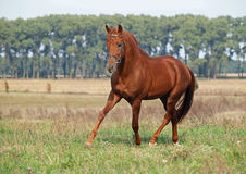 Young  stallion trots on a green meadow Royalty Free Stock Photo