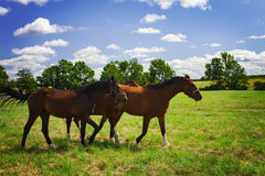 Young stallions Royalty Free Stock Photos